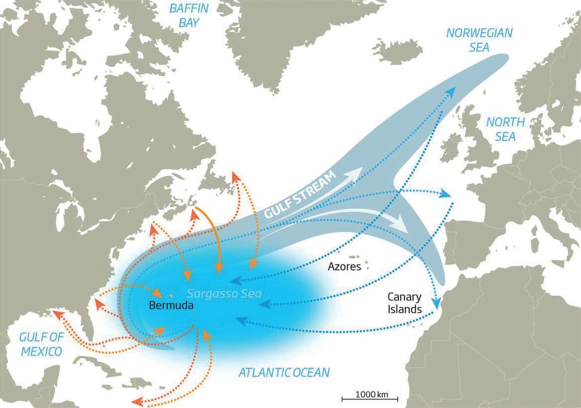 Les scientifiques ont suspecté une migration de l'anguille qui se déroulait sur plusieurs milliers de kilomètres.