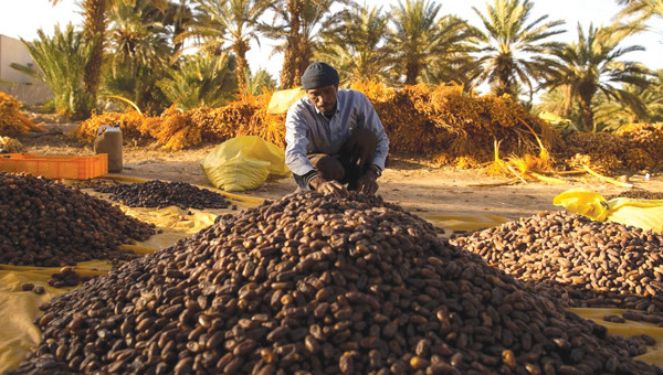 Le palmier dattier, un potentiel prometteur