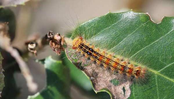 Maâmora en péril: les coulisses de la riposte phytosanitaire