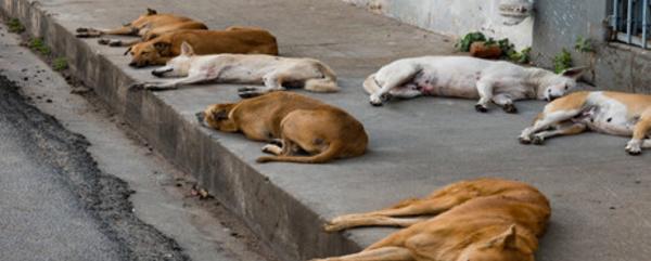 Chiens errants en temps de confinement : Une vraie vie de chien !