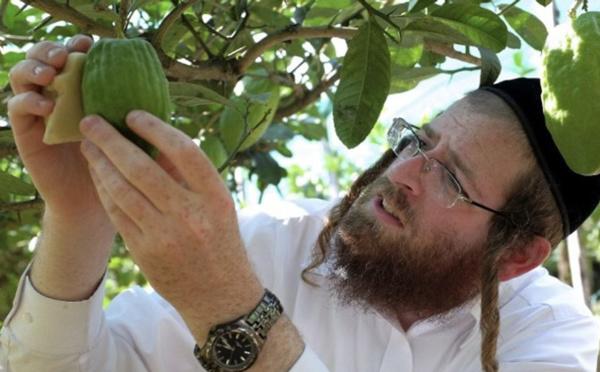 Culte et rites : Le cédrat de Taroudant au cœur de la culture hébraïque