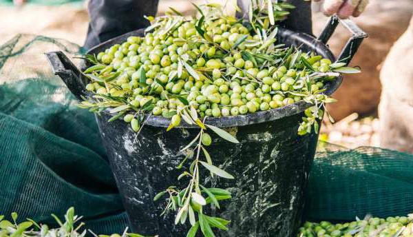 Marrakech-Safi : Un plan d'action pour développer la filière de l'Olive