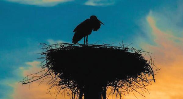 Fès : La cigogne, un attachement qui résiste aux aléas