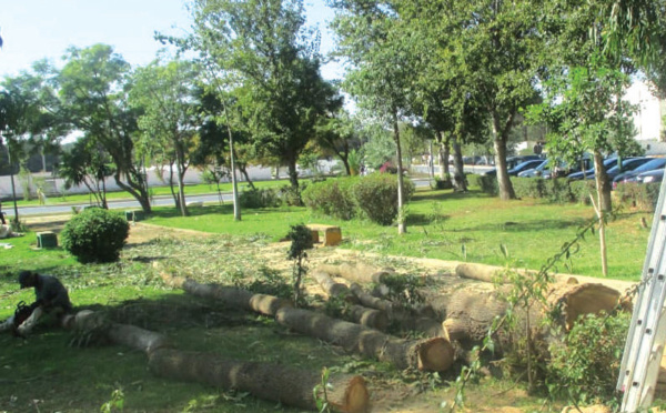 Kénitra : Mobilisation contre l'abattage massif des arbres