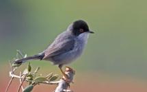 Les oiseaux des villes, plus audibles que jamais