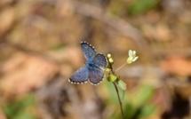 Chefchaouen: retrouvailles avec un papillon disparu depuis plus d'un siècle