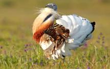 Conservation de la grande outarde : une bataille de longue haleine