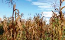 Béni-Mellal-Khénifra / Sécheresse : Indemnisation des agriculteurs de 42 communes affectées