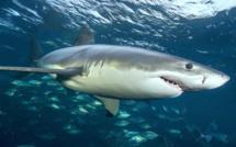 Faut-il avoir peur des requinsau Maroc ?