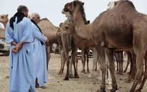 Laâyoune-Sakia Al Hamra : L'élevage camelin, un secteur prometteur
