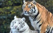 Rabat: Deux tigres s'invitent au Jardin Zoologique de Rabat