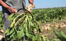 Sidi Bennour:  784.663 T de betteraves traitées, pour braver le spectre d'une année blanche